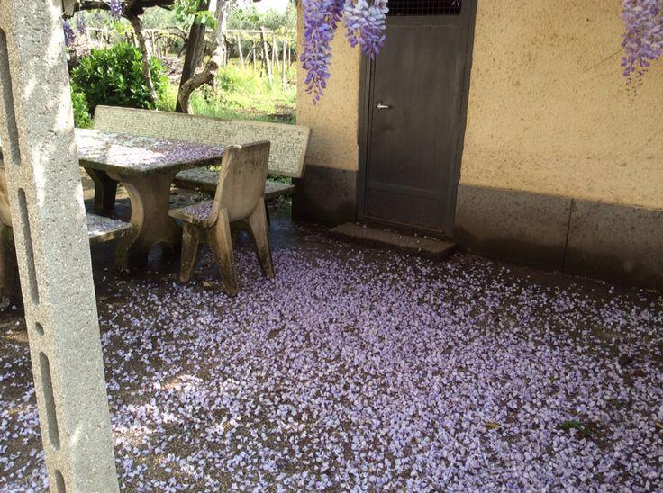 Pioggia di petali di Glicine