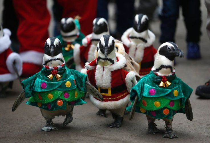 A huddle of African Penguins wearing Santa Claus and Christmas tree costumes participate in a promotional event for Christmas at an amusement park in Yongin, South Korea ...