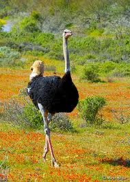 ostrich male in gorgeous South Africa - strolling among the Namakwaland flowers after the rain