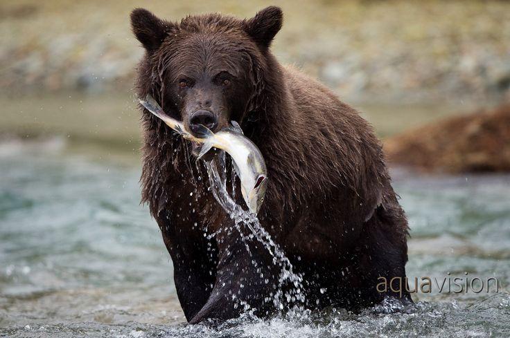 https://flic.kr/p/SLajrn | Grizzly Bear fishing | Grizzly Bear fishing in Katmai National Park