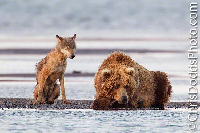 A grey Wolf (Canis lupus) and a Coastal Brown Bear (Ursus arctos) watch for salmon during the first day of the Salmon run at Hallo Bay, Katmai National Park, Alaska. Christopher Dodds