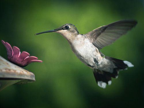 Camera @mary v Olympus E3, lens @Cindy Harms Photo 105mm 2.8 EX DG macro. @Sheree Akers Lansing photo ltd orbis® ringflash. 3LT Kirk tripod  1/1500sec, f/4.5, iso800 #Ornithology  #Bird #Hummingbird  #macro