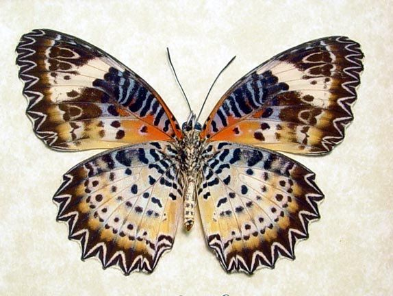 Leopard Lace-wing Butterfly - Cethosia Cyane euanthes; From Thailand
