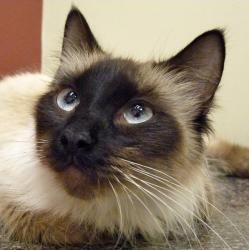 Dior is an adoptable Balinese Cat in Chicago, IL. Dior just arrived! Her bio is coming soon. Dior was born July 2011. If you are interested in learning more about Dior or know someone who might be int...
