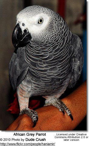 African Grey Parrots: The Smartest Parrots of all? Grey parrots are particularly noted for their exceptional talking and cognitive abilities. Irene Pepperberg's extensively published research with captive Grey Parrots, including Alex, has shown that these parrots are capable of associating human words with their meanings. They also mimick sounds and voices quite accurately.