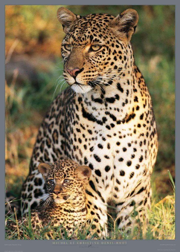 Poster photo animalière Léopards - Panthera pardus - Masai Mara - Kenya M & C Denis-Huot