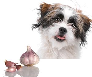 Garlic For Dogs: Poison Or Medicine? Benefits: Garlic is a natural antibiotic and won't affect the good bacteria in the gut which are needed for digestion and immune health Garlic is antifungal Garlic is antiviral Garlic boosts the immune system Garlic makes dogs less desirable to fleas Garlic is antiparasitic  1 clove for Brie 2 cloves for Bohde