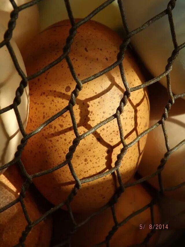 Welsummer egg