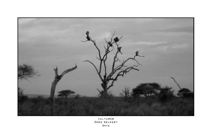 Tree full of vultures in Kruger Park, South Africa.