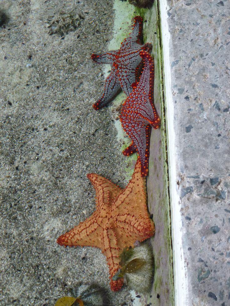 Panamà - Starfish in Panamà