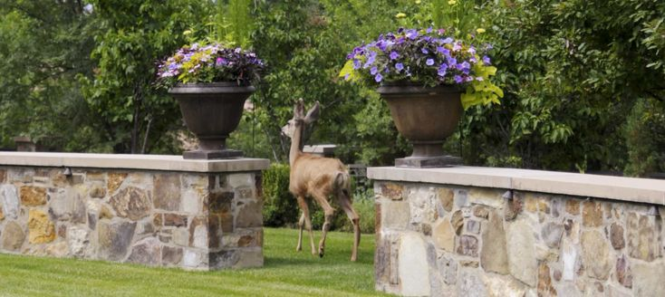 Bambi. He's so majestic, and part of the joy of living and gardening in Colorado Springs is watching the deer walk through your yard on a peaceful morning. That is, until Bambi gets hungry and devours your plants! Deer are not picky eaters and with a population of 445,000 in Colorado it's a problem many … Continue reading Deer Resistant Annuals, Perennials, Shrubs, & Trees →