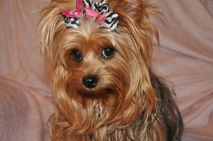 Female Yorkshire Terrier Haircuts | Yorkies!! | Pinterest ...