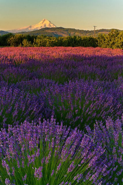 Lavender Valley Fields, Oak Grove, Oregon, South of Hood River by Gregory
