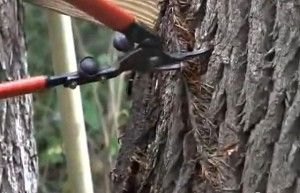 Clipping a Poison Ivy Vine that has grown up a tree using aerial roots. Virginia Creeper, which has 5 leaves, and is harmless, also climbs trees this way.