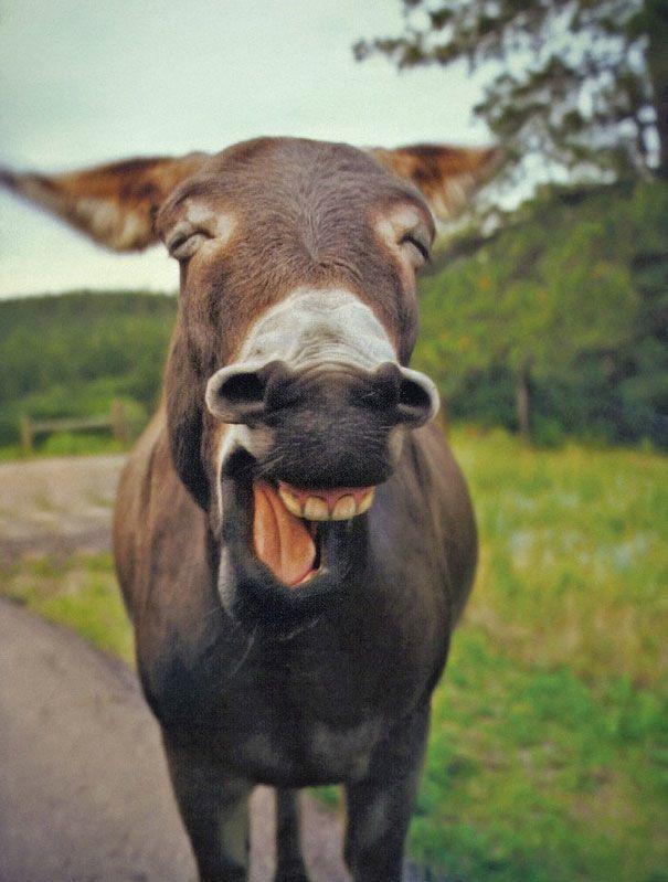 sourires d animaux communicatifs ane1 Sourires danimaux communicatifs sourire singe rire renard photo phoque loutre lion image hyene her...