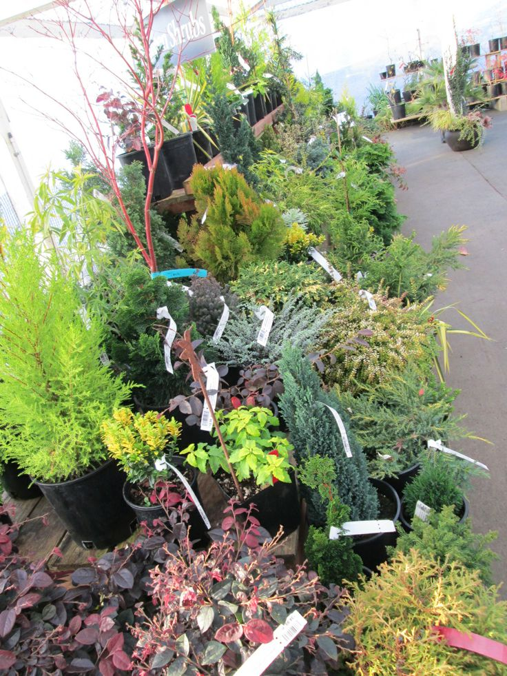 Dwarf Conifers, Evergreen Broad Leaf Shrubs And Trees With Colorful Bark  Will Make Your Garden Sing All Winter Long.