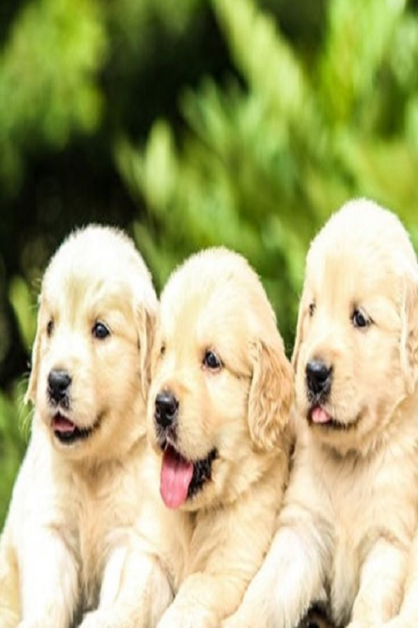 Golden Retriever Puppy A Start Of Our Journey Together Acquiring