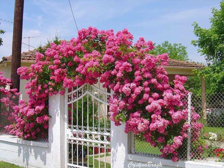 rosas cor de rosa clematis glicínias flores rosas de poda rosas