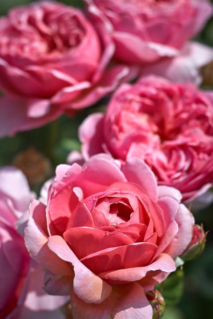 "Rose "" Princess Alexandra of Kent "" , bred by (Ausmerchant) , David C. H. Austin (United Kingdom, 2002)"