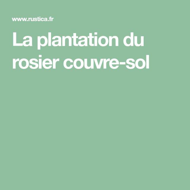 La plantation du rosier couvre-sol