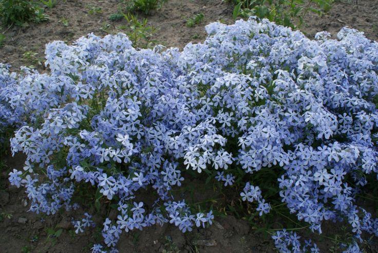 phlox-pflanzen-divaricata-hellblau-farbe-bepflanzung-outdoor