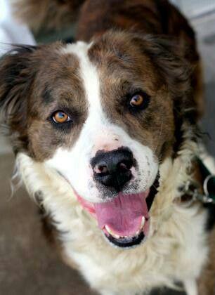 Meet PAXTON (Saint Bernard/Border Collie), available for adoption in Wichita, KS