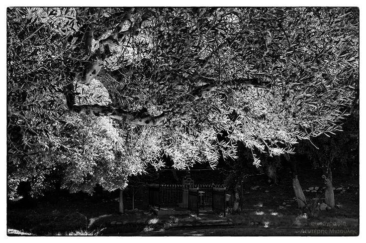 olive tree Ελαιόδενδρο