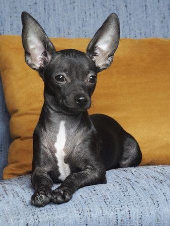 Deer Head Chihuahua Black