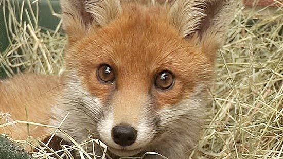 Raposa rouba celular e manda mensagem de texto na Noruega: http://f5.folha.uol.com.br/bichos/1193905-raposa-rouba-celular-e-manda-mensagem-de-texto-na-noruega.shtml#