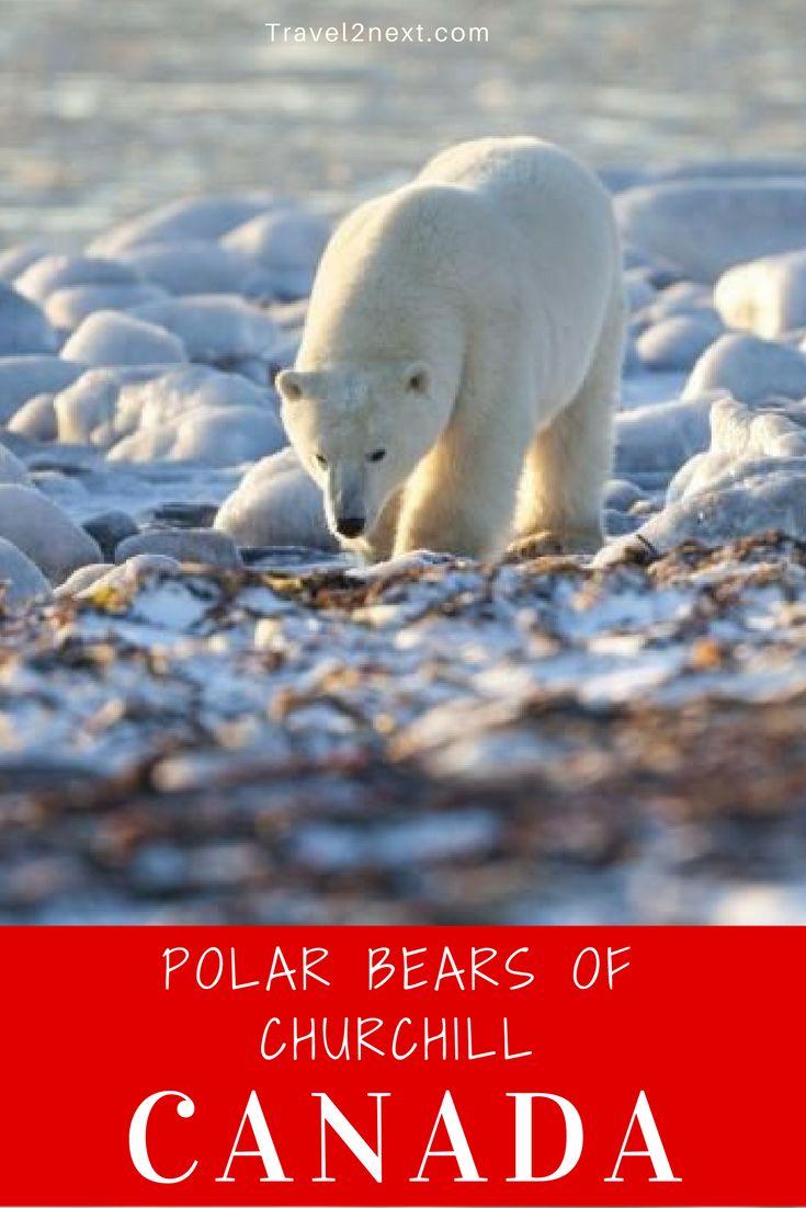 Churchill in Canada is the polar bear capital of the world.