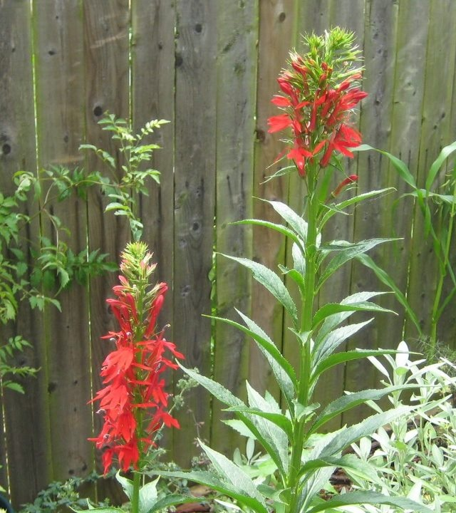 Maryland Native Plants: 17 Best Images About Native Plants In MD On Pinterest