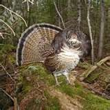 grouse hunting  for supper