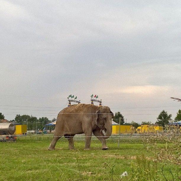 #Elefante #elephant  #circo #instaphant #Mestre