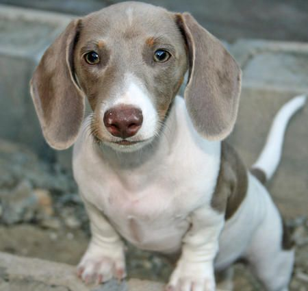 Image result for gray dachshunds