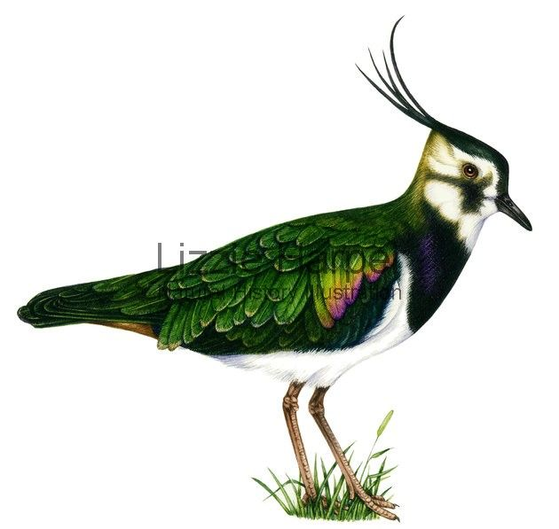 Lapwing-yakından bakınca , tüyler, siyah üstüne yeşil , erguvani pırıltılı görünrümdedir.