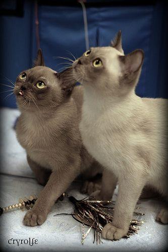 Burmese cat rescue los angeles