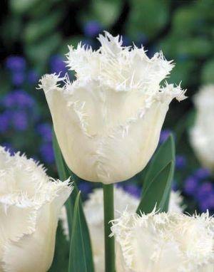 Tulipa 'Honeymoon' ('Honeymoon' tulip)