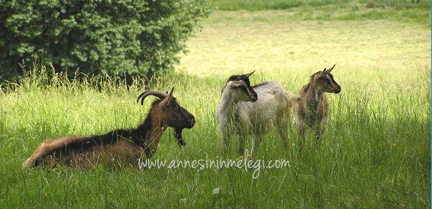 İlginç gerçekler: Çoğu canlının aksine keçilerin dikdörtgen göz bebekleri vardır
