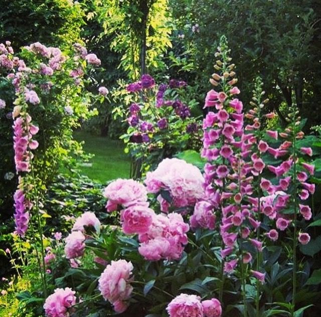 Pink in the garden ~ peonies and foxglove
