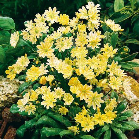 Gelbe Lewisie Karussell - Immergrüne Pflanzen