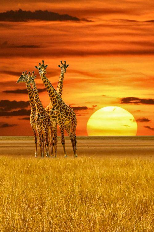 Beautiful Sunset with Giraffes ❤
