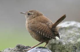 British garden birds - Wren