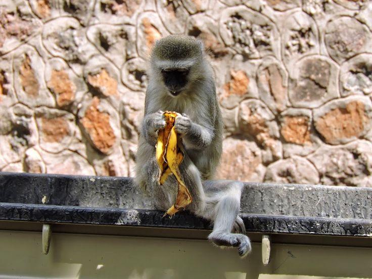 Vervet Monkey in the Chobe National Park, Botswana