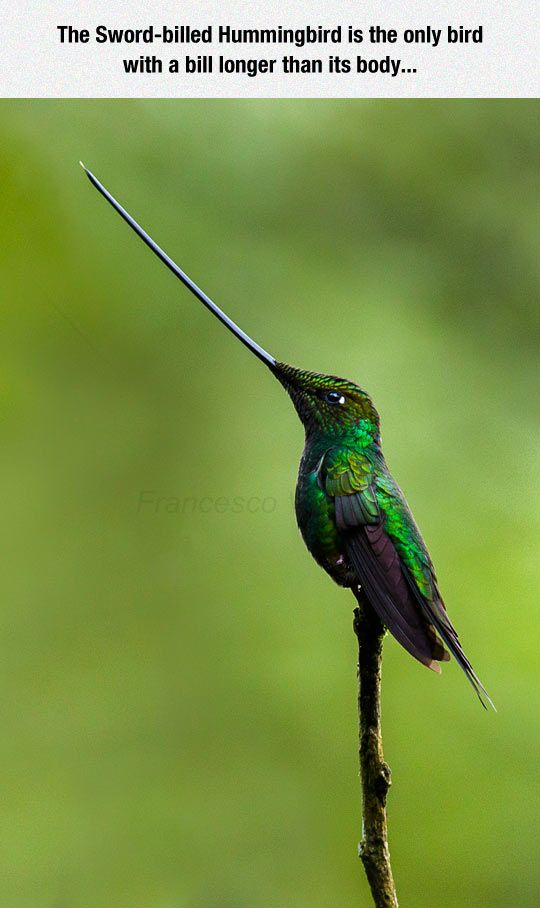 The Sword-billed Hummingbird is the only hummingbird with a bill longer than its body. The emerald green feathers are gorgeous.