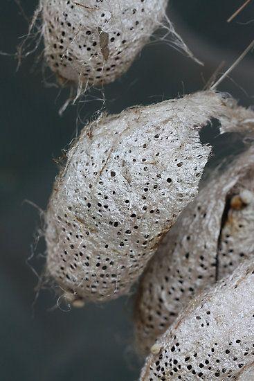Cocoons of Giant Atlas Moth (Attacus atlas)