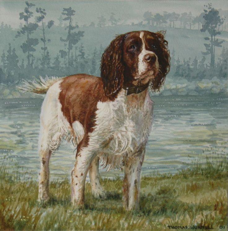 Spaniel - Watercolour by Tom Wormell