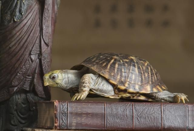 Which Direction Should the Feng Shui Tortoise Face?: There are many feng shui tortoises with specific designs on their back, as well as with additions, such as feng shui coins to attract more money or with little baby turtles on top as a feng shui cure for family harmony and longevity.