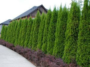 """Thuja Emerald The Perfect Fast-Growing Privacy Hedge Compact grower to 7-8' tall Thuja Emerald thrives in full sun to part shade Easily adapts to sandy or heavy clay soils Plant in groups of 6, 12, or 24 for best results Plant 2-3' apart for fast hedge Jumbo 22"""" tall specimens for quicker results!"""