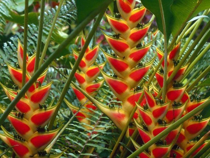 Heliconia, La Planta Preferida En Jardines Tropicales Y