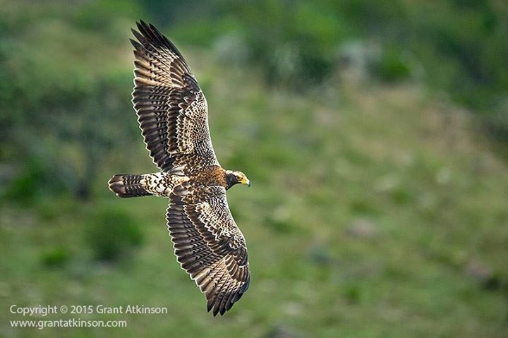 Caught on film! This baby eagle proudly takes one of its first flights in the #Drakensberg. ♥